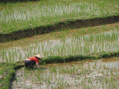 On s'affaire dans les rizières
