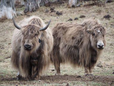 Les yacks