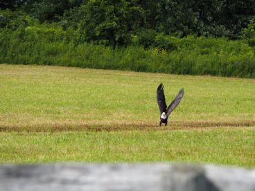 ...Et dans les champs nous avons la chance de voir un exemplaire de l'aigle américain