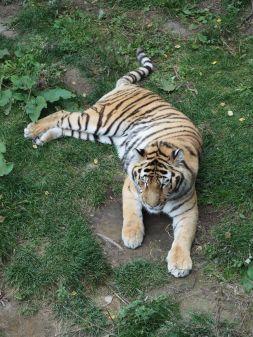 Tigres de l'Amour
