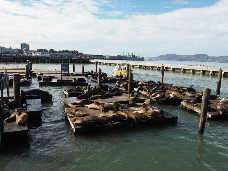 Sur les pontons, regroupement de lions de mer