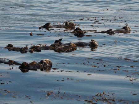 La sieste des loutres de mer