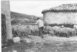Louis Armand et son troupeau