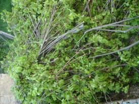 Mai 2011 les branches coupées du tilleul