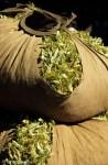 La récolte des fleurs de tilleul