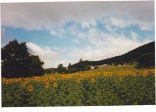 Eté 1997-Tournesols