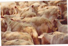 Le troupeau de moutons 1986