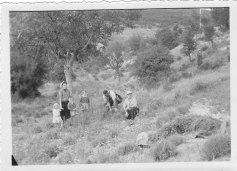 Cueillette lavande Années 1950