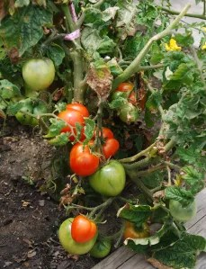 roberti_tomatoes