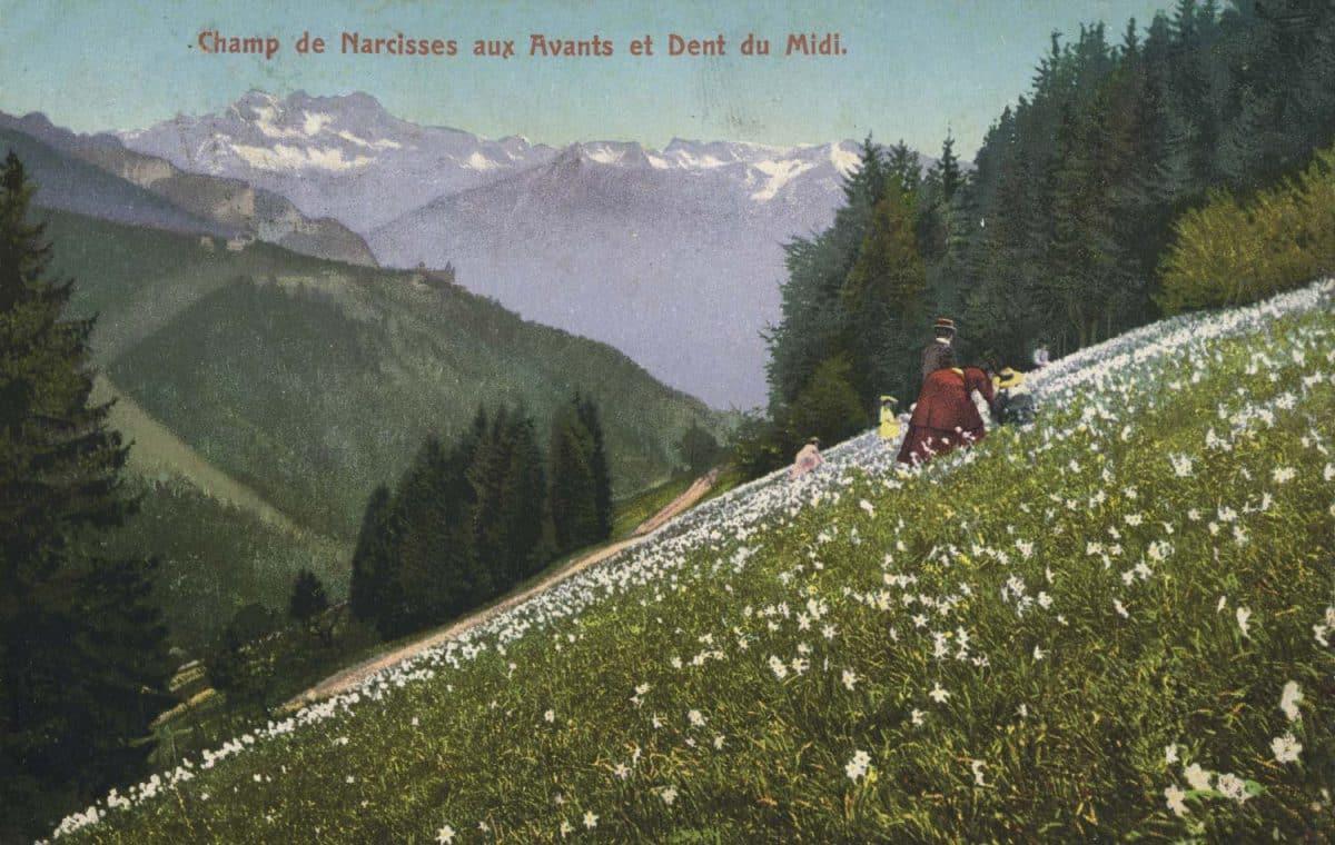 Carte postale, Champ de narcisses aux Avants et Dent du Midi