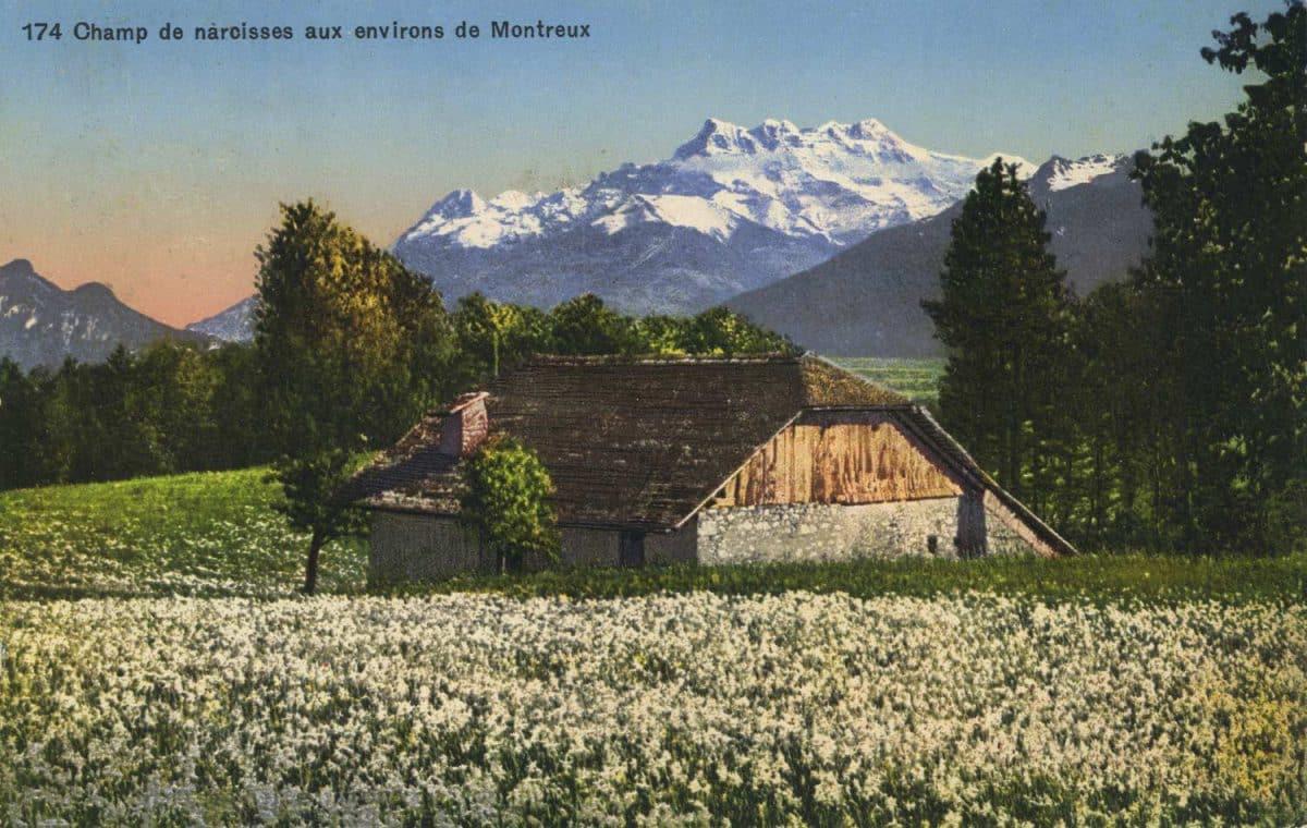 Carte postale, Champ de narcisses aux environs de Montreux