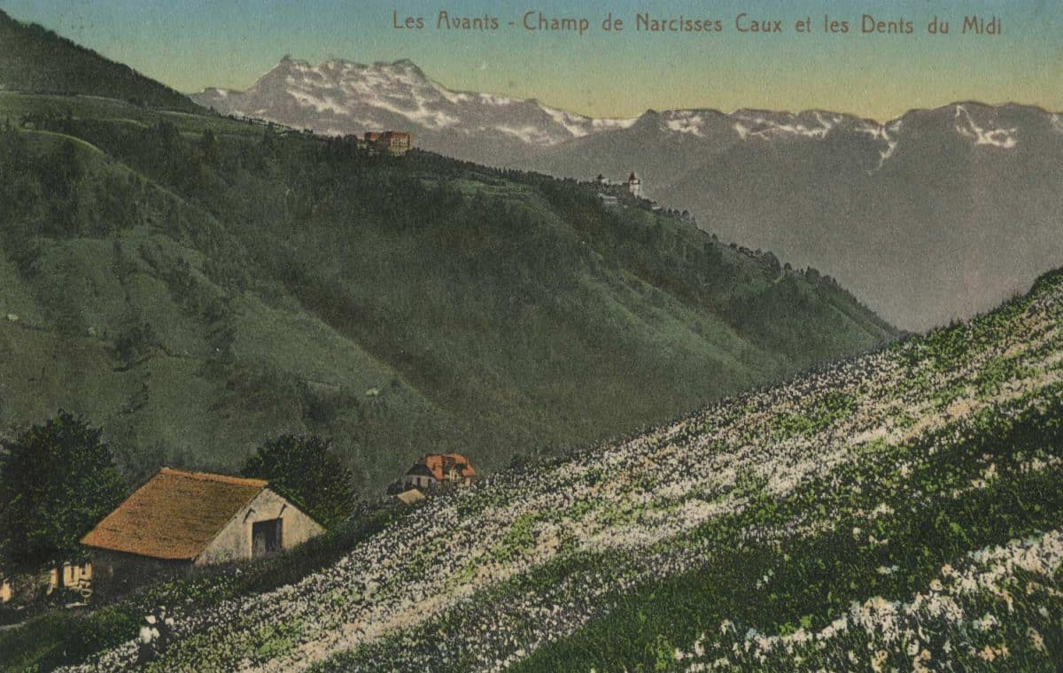 Carte postale, Les Avants - Champ de narcisses Caux et les Dents du Midi