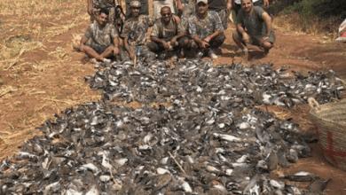 """Photo de """"Massacre"""" des tourterelles par des Khalijis: Une enquête est ouverte"""
