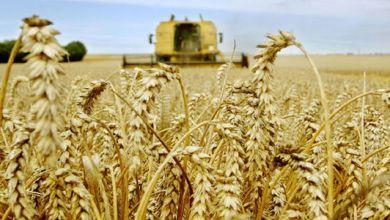 Photo de Agriculture. La campagne céréalière compromise