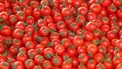Photo de Un «Tomatovirus» au Maroc ? La FIFEL et l'ONSSA expliquent