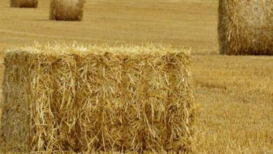 Photo de Sécheresse: Distribution d'orge subventionné aux éleveurs