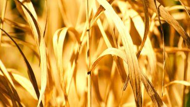 Photo de Faiblesse de pluviométrie et campagne agricole: quelle est l'ampleur des «dégâts»?
