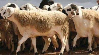 Photo of Meknès. Opération sauvetage pour le cheptel