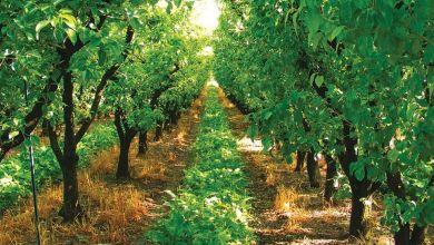 Photo de Agriculture : la production arboricole s'annonce prometteuse