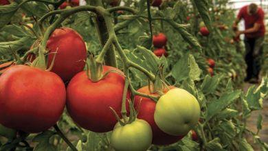 Photo de Marché russe : les exportations de tomates grevées par le virus Pépino