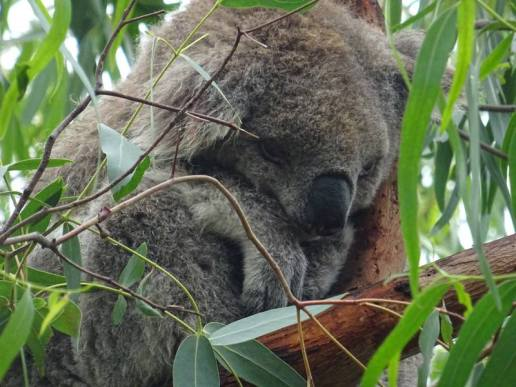 koalas0017