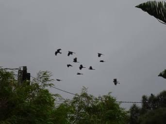 cacatoès noirs