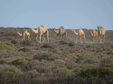 troupeau de dromadaire le long de la route