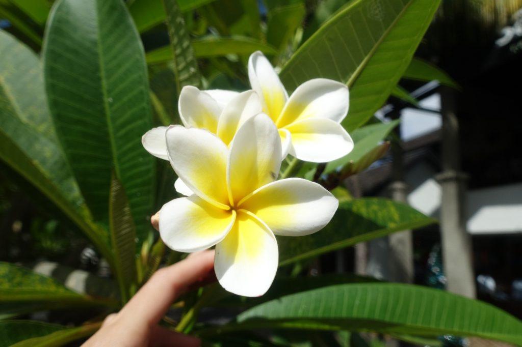 les-exploratrices-maurice-fleurs-frangipanier