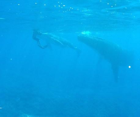 nager avec les baleines à Moorea