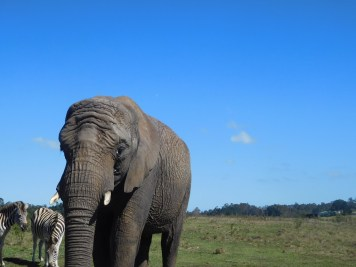 elephant-knysna-modif
