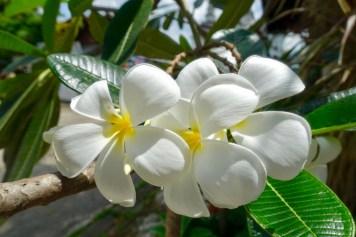 thailande-fleurs-frangipanier