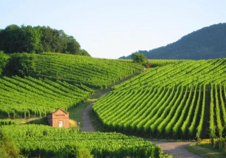 Le vignoble français craint une perte de surface avec les zones sans pesticides