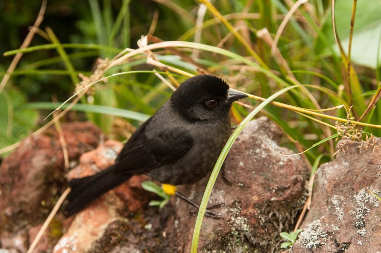 oiseau noir et jaune