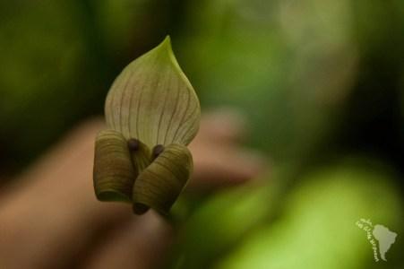 Une orchidée à la forme surprenante