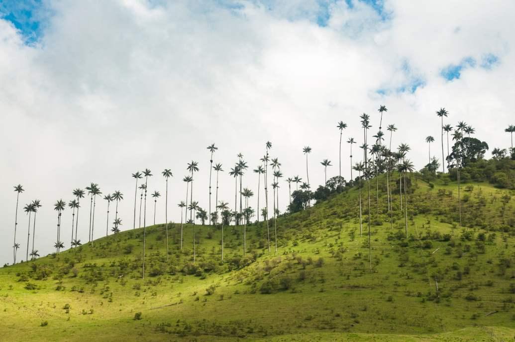 champs palmiers cocora