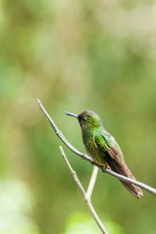 colibri cocora