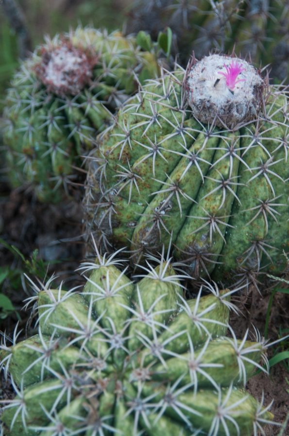 Cactus entre chien et loup