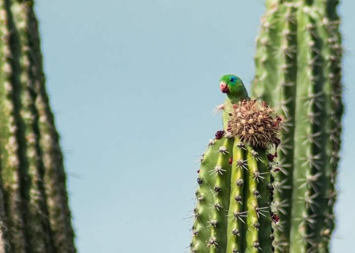 perroquet