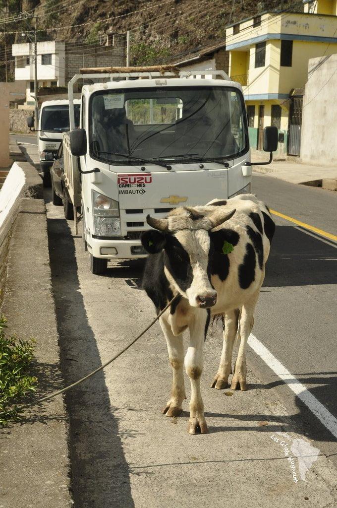 Concept original à Otavalo : le parking à vache