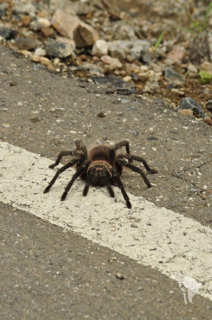 araignée nord pérou