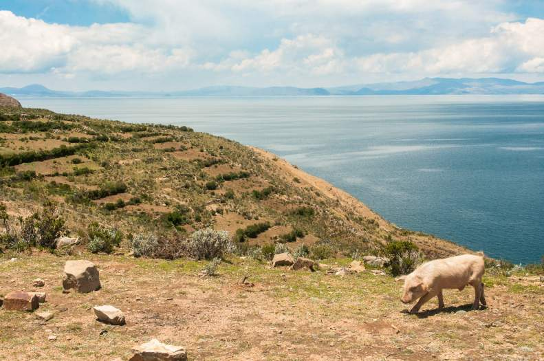 isla-del-sol-lac-titicaca-cochon