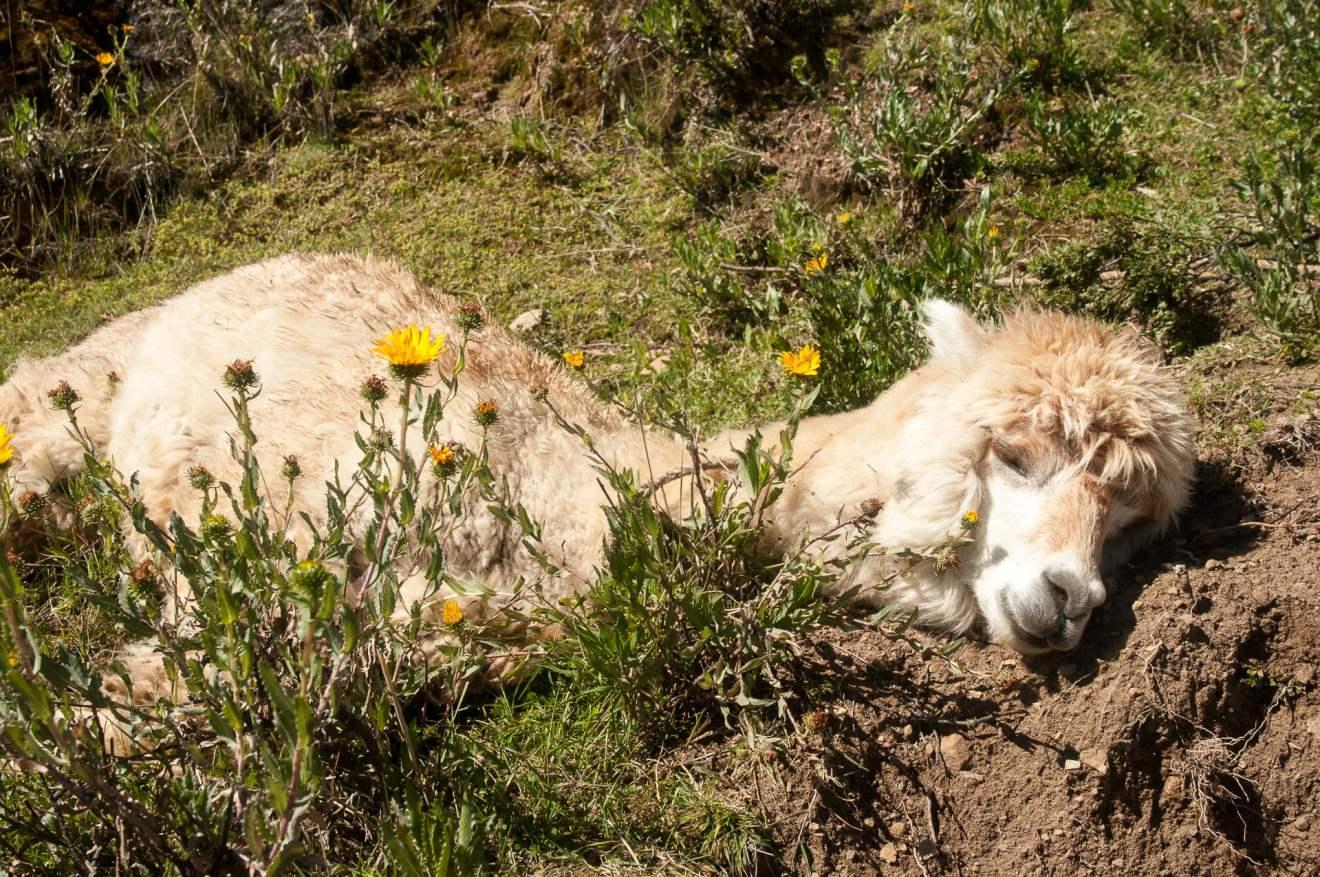 Lama isla del sol lac titicaca bolivie