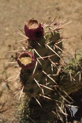 Tilcara cactus