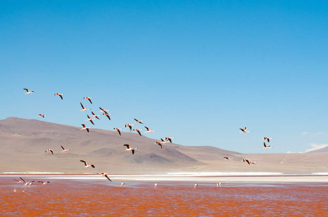Flamands roses en vol, sud lipez
