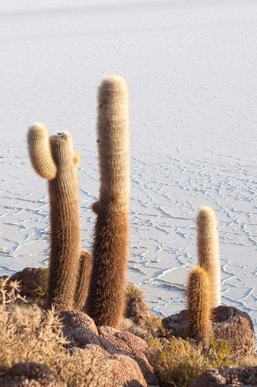 cactus sel