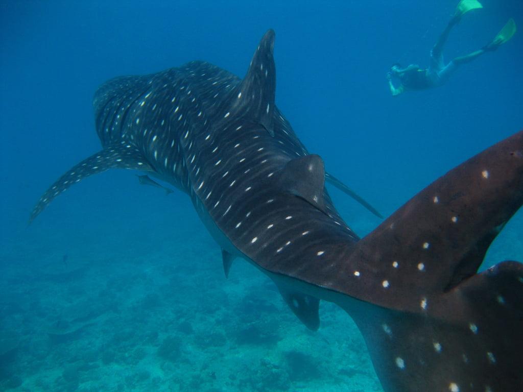 requins baleines mexique