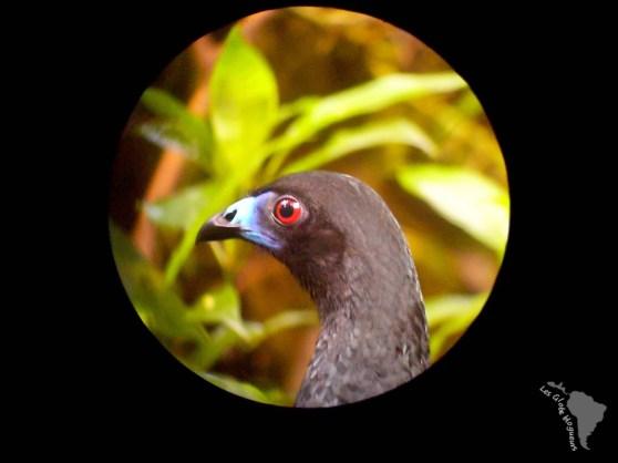 oiseau costa rica monteverde