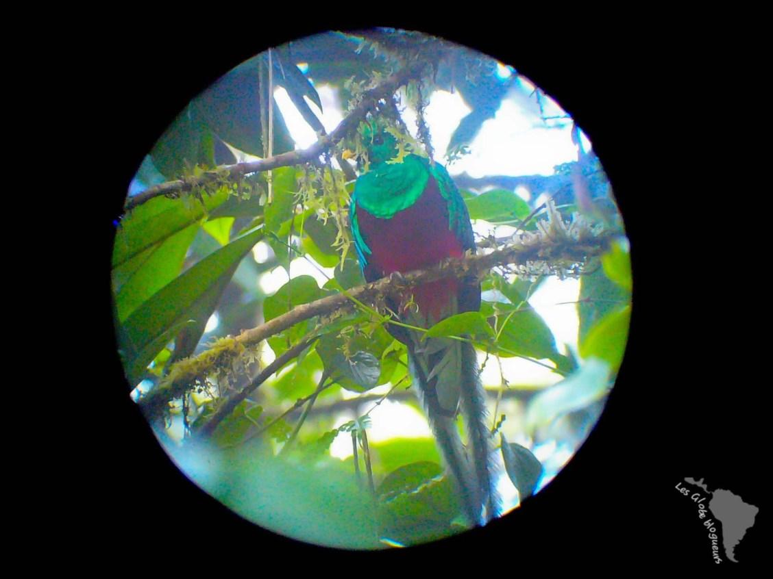 Quetzal oiseau costa rica jungle