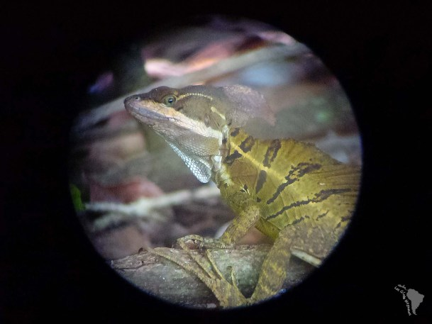 Iguane basilique costa rica