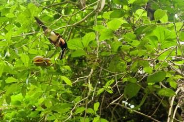Aracari de la famille des toucans